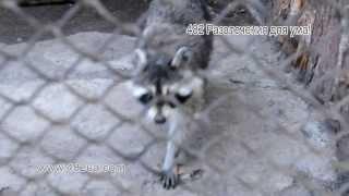 животные, Харьков, Зоопарк, Лиса серебристо чёрная, лиса, енот