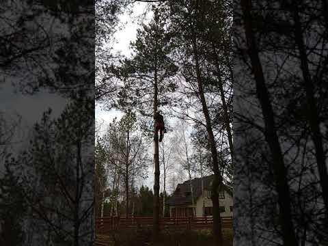Wycinka sekcyjna drzewa metodą alpinistyczną - sosna (całość)