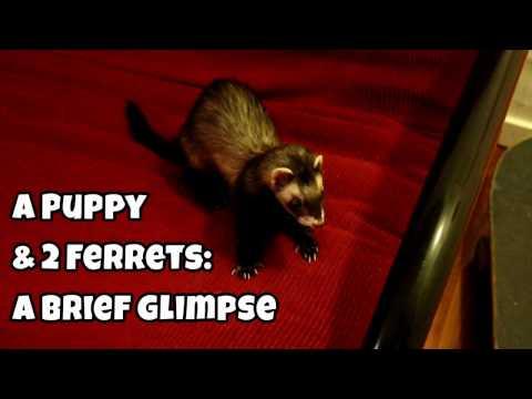 A Puppy & 2 Ferrets: A Brief Glimpse - Cute Animals Inside 4 - VOL. 42