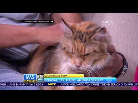 Talkshow Tentang Kucing Maine Coon
