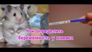 Как определить беременность у хомяка, Признаки беременности у хомяка, Беременный хомяк.