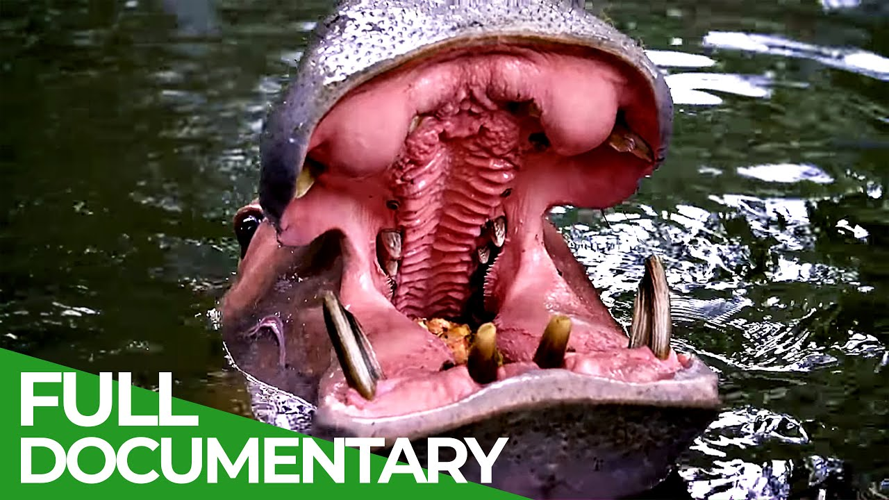 World's Largest and Heaviest Land Animals: Hippos & Rhinos | Free Documentary Nature