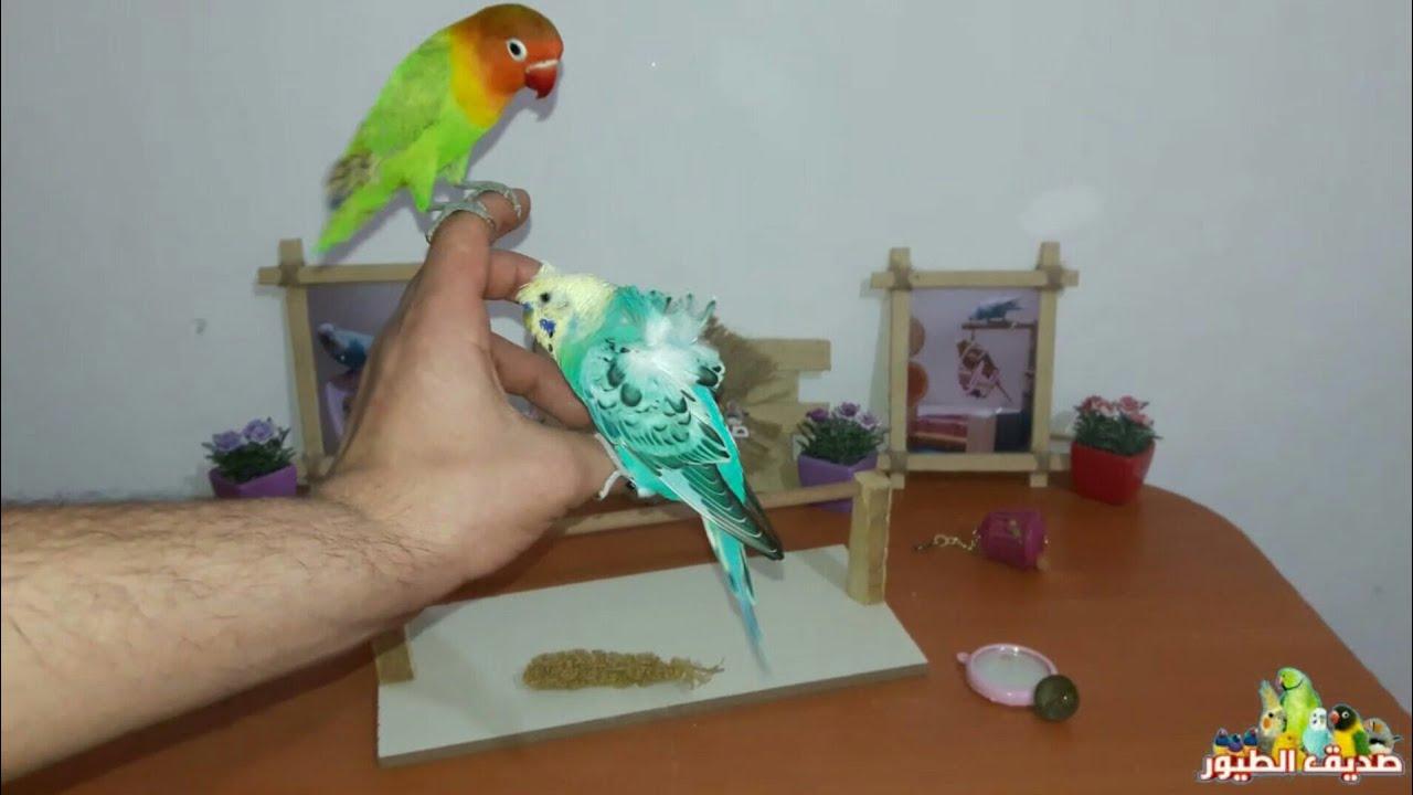 كيف تتعامل مع الطيور بعد الترويض حتى تتخلص من الخوف 100%
