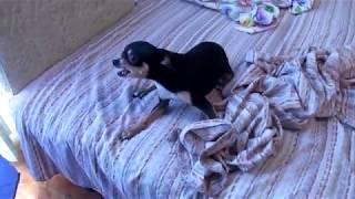 Злой песик той терьер. Russian toy Terrier