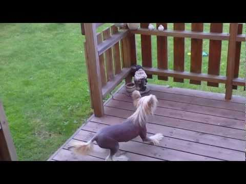 Chinese crested puppy barking at garden lepricon