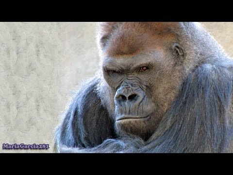 Western Lowland Gorilla - Endangered Species