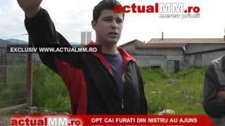 Opt cai furati din Nistru au ajuns intr un abator din Baia Mare