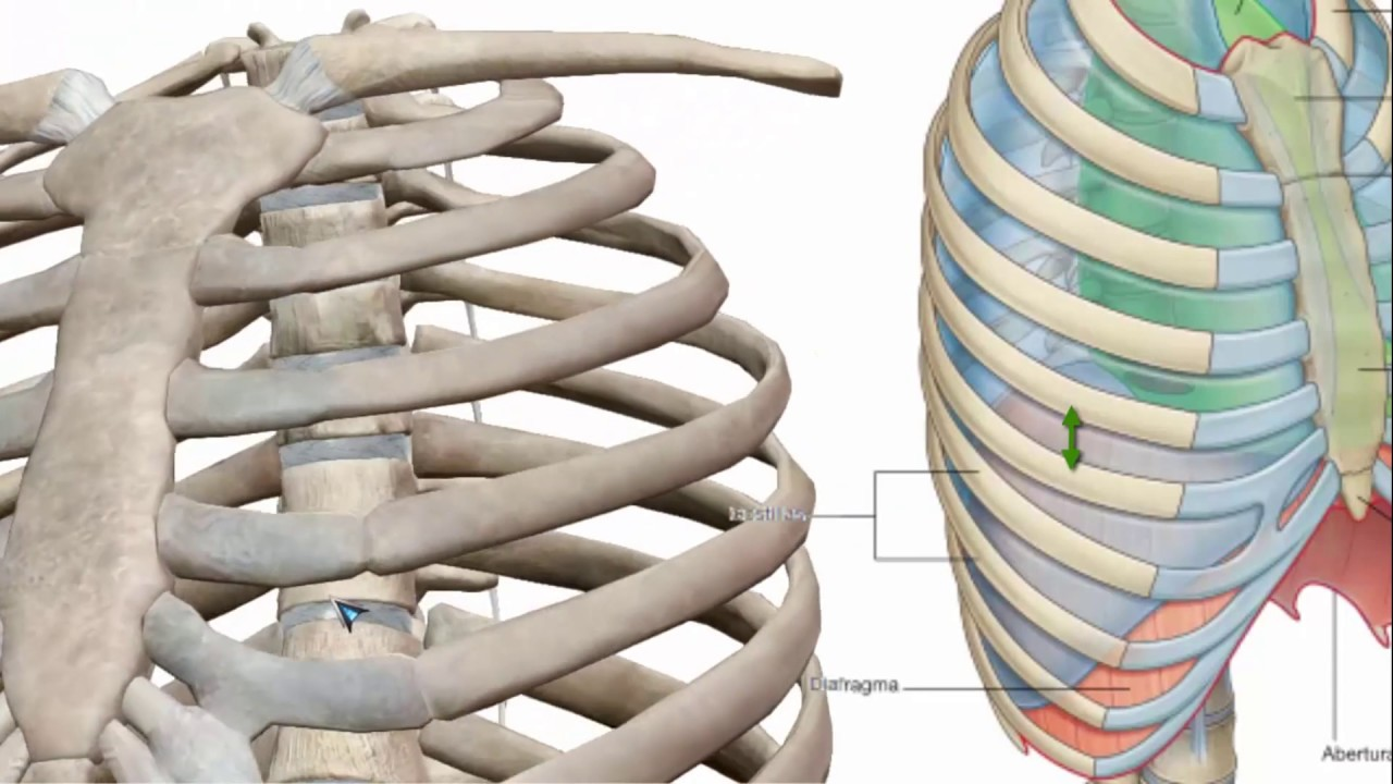 TORAX Pared del torax: Costilla Anatomia Humana | Casi Forastero ...