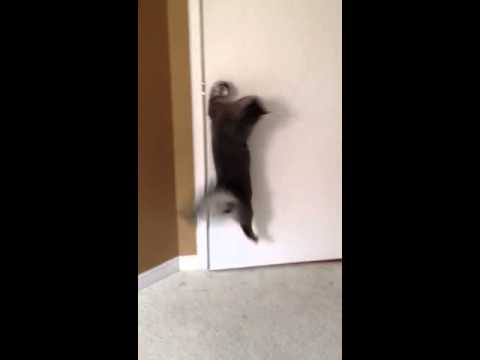Cat turns door knob and opens door.