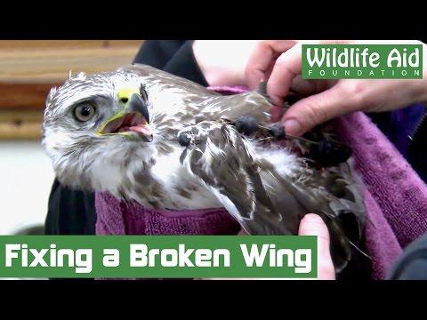 Surgery gives hope for broken wing buzzard!