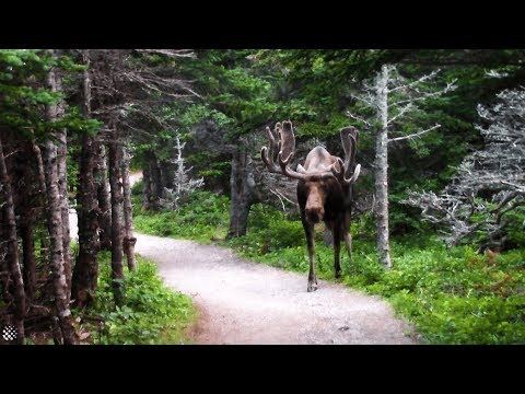 Giant moose surprises hikers on Canadian forest trail | Wild Animal Encounters