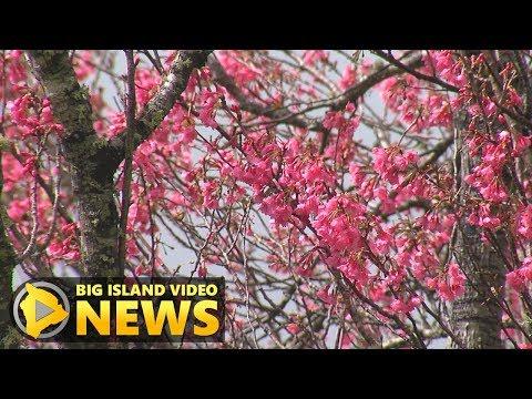 2019 Waimea Cherry Blossom Festival Scenes (Feb. 2, 2019) Mp3