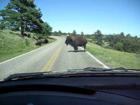 Buffalo attack our minivan in Custer state park