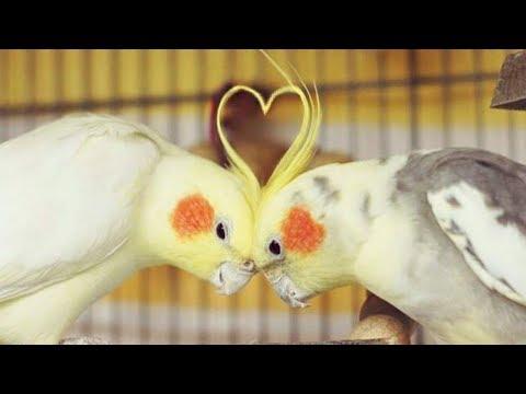 Cockatiels are the BEST | Happy Cockatiels | Cockatiel Funny Videos | Compilation |