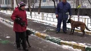 Лабрадор дрессировка рядом отвлечение на собаку(http://www.walkservice.ru/Forum - для ОБСУЖДЕНИЙ и вопросов, и не забывайте ставить НРАВИТСЯ и ПОДПИСЫВАТЬСЯ. Лабрадор..., 2013-12-10T14:45:44.000Z)
