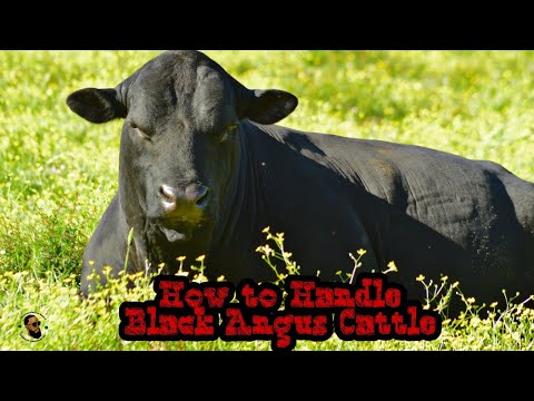 How To Handle Black Angus Cattle