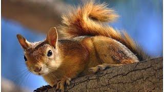 السناجب العربية all squirrels