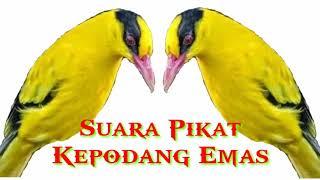 Download Mp3 Suara Pikat Burung Kepodang Emas Terbaru 2020    100% Ampuh