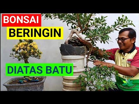 Bonsai Beringin Ini Tumbuh Di Batu Dan Bergaya Air Terjun Youtube