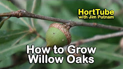 How to grow Willow Oaks - Beautiful Shade Tree with Willow-Like Leaves