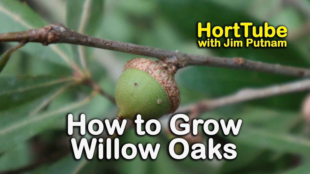 How To Grow Willow Oaks Beautiful Shade Tree With Willow Like Leaves Youtube