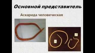 Тип Круглые черви AVI