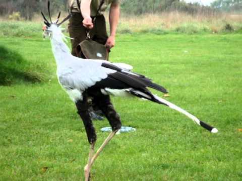 secretary bird chasing and killing a snake
