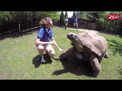 Aldabra Tortoise Birthday