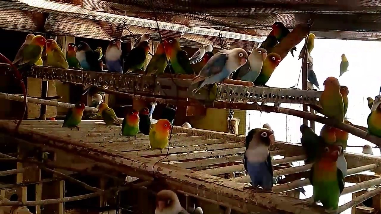 Ternak Lovebird Di Kandang Koloni Youtube