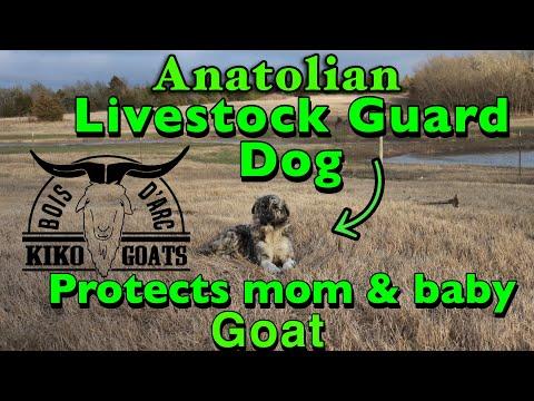 LIVESTOCK GUARD DOG protects nannie Goat & Baby | Anatolian Shepherd Livestock Guard Dog | Kiko Goat