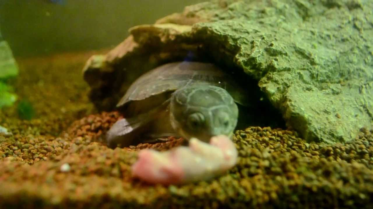 Tortue pelomedusa subrufa vs souriceaux youtube for Aquarium tortue