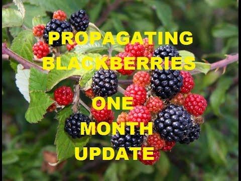 Propagating Blackberries ~ Rooting Cuttings~One Month Update