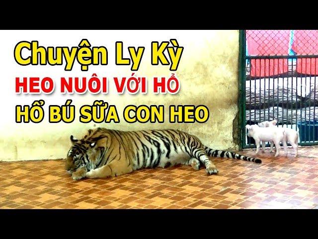 CHUYỆN LY KỲ THAILAND PATTAYA HEO NUÔI VỚI HỔ - H.Ổ BÚ SỮA CON HEO