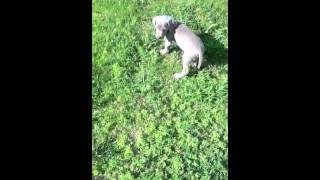 Misty Oak Weimaraner Puppies Brown And Purple: Find It