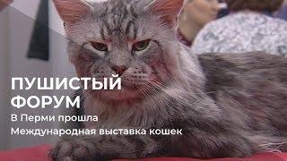 Пушистый форум: в Перми прошла Международная выставка кошек