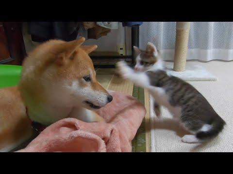 ケンカを売りまくる子猫と、優しい目で見る犬