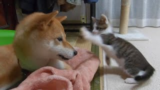 A kitten picking a fight and a dog staying sweet
