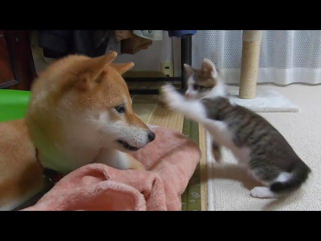 ケンカを売りまくる子猫と、優しい目で見る犬。