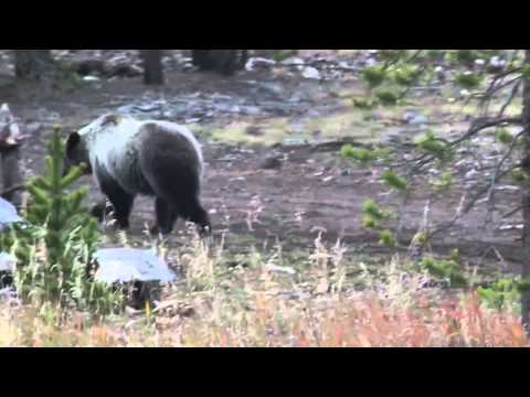Grizzly Bear, Greater Yellowstone Ecosystem