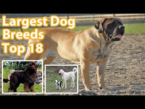 The Largest Dog Breeds | Top Dog Breeds | Biggest Dogs in the World | Kuttay | Animal World