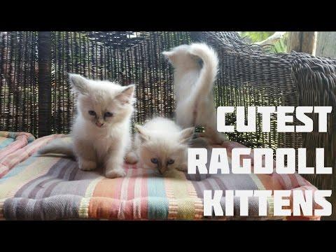 Ragdoll Kittens | Cutest