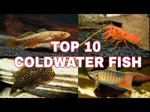 Top 10 Coldwater Aquarium Fish For Your Aquarium | Prathmesh Aquatics