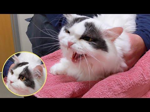 병원만 가면 하악머신 되는 순둥이! 고양이 쵸비!