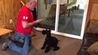 "Giant Schnauzer ""Luna"" 15 weeks puppy obedience"