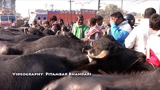 काठमांडूको मम||एक दिनमा 60 लाख माथिको कारोबार||Buffalo Market in Nepal ||