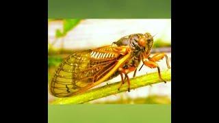 suara serangga  gareng pung(tonggeret) seperti dialam buat relaksasi atau terapi burung