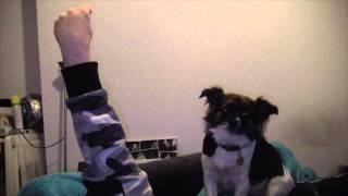 Scruffy Shih Tzu X Chihuahua Noises