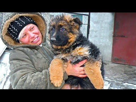 Щенки Немецкой овчарки 2 месяца. Puppies German Shepherd 2 month.