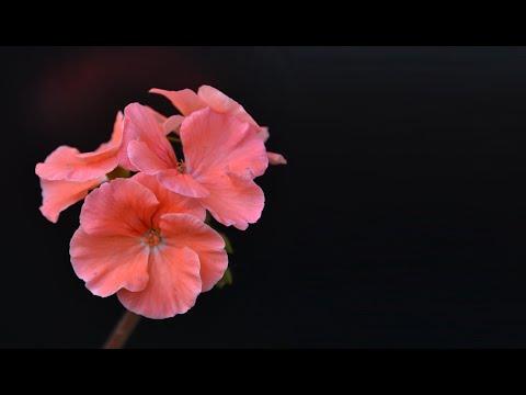 Цветение пеларгонии. Купить черенки герани разных сортов