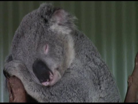 KOALA'S, KANGAROO'S AND WOMBAT'S AT FEATHERDALE WILDLIFE PARK SYDNEY AUSTRALIA 10/10/14